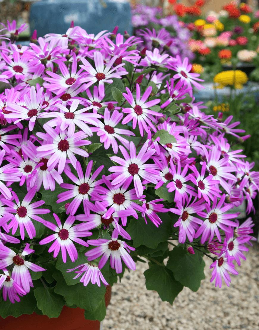 Senetti | Pericallis (Senecio) | Spring Garden Colours