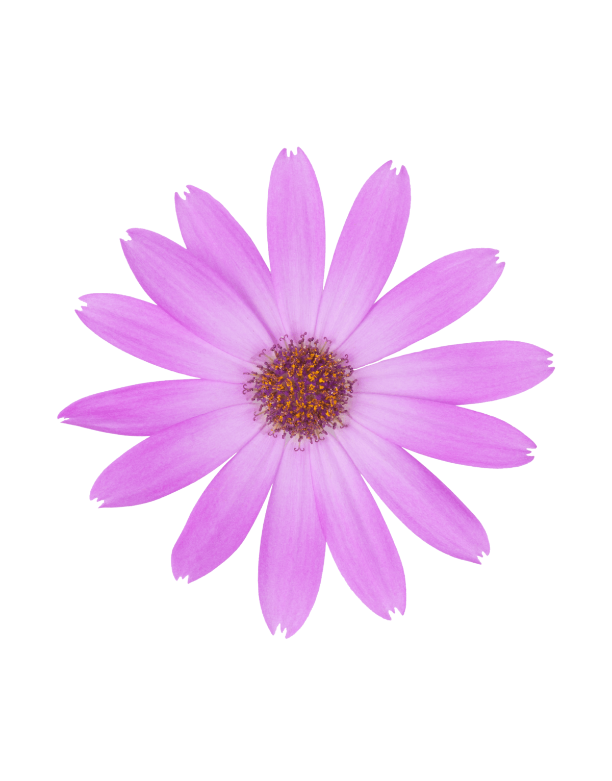 Senetti   Pericallis (Senecio)   Spring Garden Colours